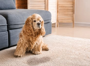 Pet Stain Treatment